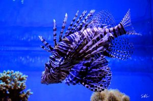 Lion Fish by Momenti-Photo