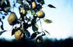 pears and sky by TheHungerArtist
