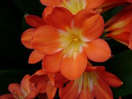 Clivia Flower by laura-worldwide