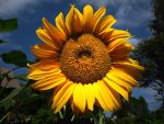 The Sunflower by Petritap