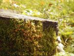 Moss on a stump by FrusenFisk