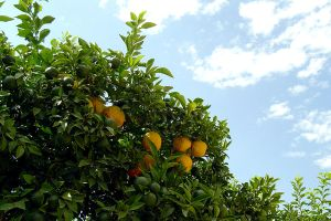 Orange Tree by heminder