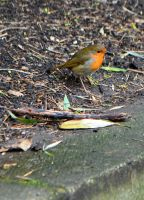 and the winner is... the Holland Park Robin No.1 by aegiandyad