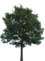 Tree 1 (PNG with transparency) by bupaje