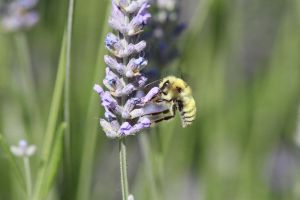 Golden Northern Bumblebee - 1 by myekeh