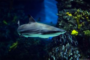 Grey reef shark by O-Renzo