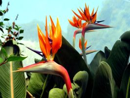 Birds of Paradise by Bethybops