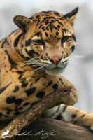 Clouded leopard (Neofelis nebulosa) by PhotoDragonBird
