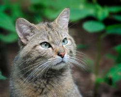 Dreamy Wild Cat by Manu34