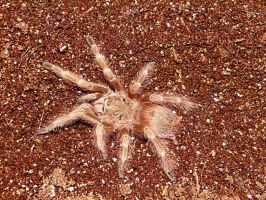 Brazilian Giant Blonde Tarantula by Jenn-Coney1976