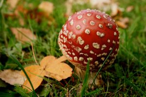 Amanita Muscaria by RhynWilliams