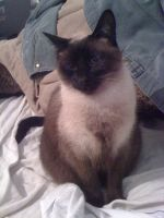 The Siamese by BuckleberryRanch