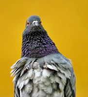 Pigeon Portrait by Hamrani