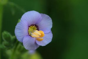 tiny blue by dodecatheon