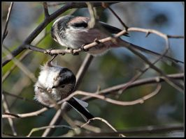 Long Tailed Tit Feeding by cycoze