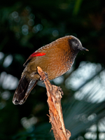 Red Winged Laughing Thrush by lisoslyphem