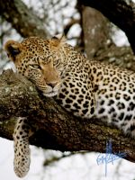 Leopard in a Tree - Serengeti by Carlisle