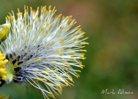 Catkin by Mark-Allison