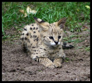 Baby Serval by Twins72