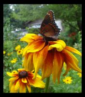 Black-Eyed Butterfly 2 by foreverlong926