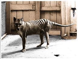 Thylacine in color by Pudgemountain
