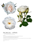 white Rose stock BAC by babsartcreations