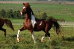 American Saddlebred Stock 42 by LuDa-Stock