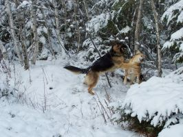 Wolf versus coyote.... by Cainamoon