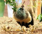 Mommy Peacock with Babies by ShipperTrish