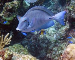 Surgeonfish - Goulding Cay by Lauren-Lee
