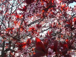 Japanese Cherry Blossom Tree by POETRYTHROUGHLENS