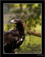 Wedge Tail Eagle by lost-in-burnie