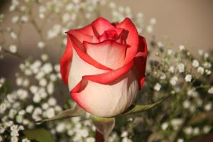 Rosey New Year by digitalpix4all
