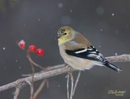 Goldfinch winter I by DGAnder