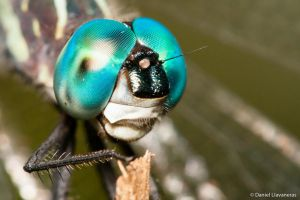 Dragonfly closeup by dllavaneras