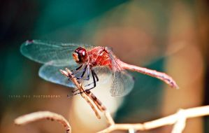 Sympetrum 2 by Project-Pestilence