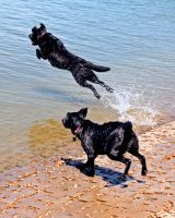 Two Labs for the water by clippercarrillo
