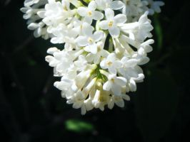 lilas blancs by JELawrence