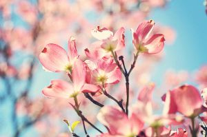 Dogwood Blooms by teresastreasures72