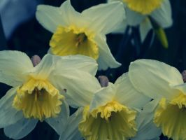 Daffs by KerrieLBrown
