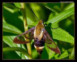 Humingbird Moth 08-1 by boron