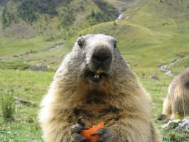 Hungry marmot by Momotte2