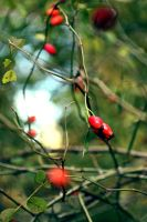 Red berries by delicatamente