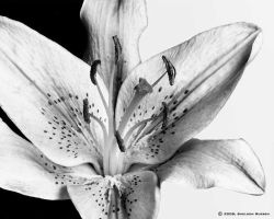 Black n' White Lily by Sheldon-Rueben