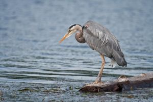 Fishing Heron by Kekilen