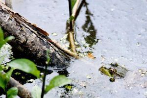 Frog In A Pond by everythingphotos