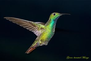 Green-breasted Mango Hummingbird by Jamie-MacArthur