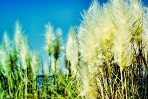 Pampas Grass by Lion6255