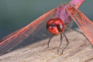 Violet Darter Series 2014-1-1 by dalantech