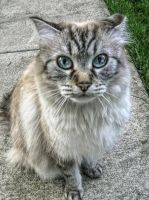 The cat of my neighbor by pingallery
